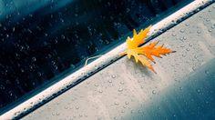 Maple leaf in #Rain Wallpaper #HD http://goo.gl/fb/wVK8NP  #random #mapleleaf
