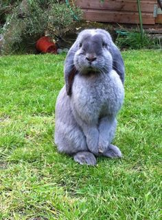 Want one of these big babies so bad! Bunny Book, Bunny Rabbit, Animal Facts, Cat Facts, Funny Bunnies, Cute Bunny, Fluffy Animals, Cute Animals, French Lop Rabbit