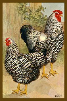 Black and White Hen and Rooster by Olde America Antiques. Black and White Hen and Rooster. CHICKENS from Olde America Antiques Online. Vintage Labels, Vintage Cards, Vintage Postcards, Black Chickens, Chickens And Roosters, Cochin Chickens, Chicken Painting, Chicken Art, White Chicken