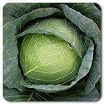 Organic Capture F1 Hybrid Cabbage