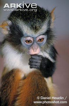 Juvenile Congo Basin Wolf's monkey, portrait Monkey Species, Mountain Gorilla, Lemurs, Cute Monkey, Rainforests, Beautiful Forest, Reptiles And Amphibians, Pen Art, African Animals