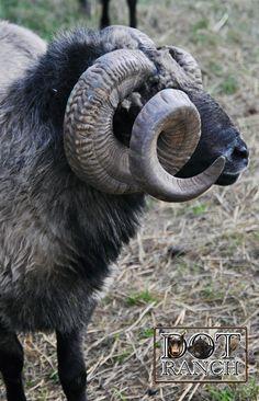 Navajo-Churro Ram
