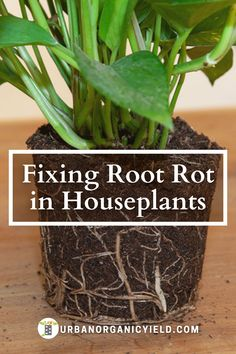 How to save a succulent or houseplant from root rot. Learn how to make your own root rot mixture so you can know how to cure root rot. We also discuss how root rot treatment works to revive and save your succulent or houseplant. #Succulents #Plants #Houseplant #IndoorGarden #Gardening #UrbanOrganicYield
