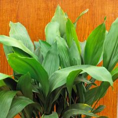 Cast-iron plant (Aspidistra elatior) virtually indestructable - 20 Super-Easy Houseplants You'll Love | Midwest Living