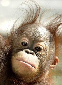 Orangutans have been making quite a splash in news this summer. Most recently, people watched in awe as an orangutan at Japan's Tama Zoo cooled of. Baby Gorillas, Baby Orangutan, Chimpanzee, Elephant World, Baby Elephant, Cute Baby Animals, Animals And Pets, Animal Babies, Ape Monkey