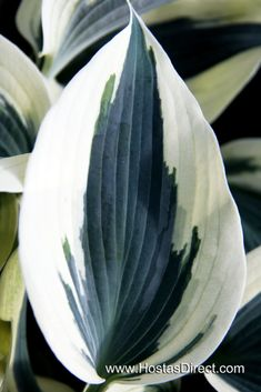 Hosta 'Blue Ivory' - Shade garden, beautiful and different!