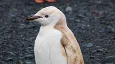 "Mutant ""Blond"" Penguin Spotted in Antarctica"