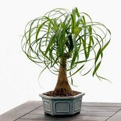 Gift Plants Ideas: Caring for your Ponytail Palm