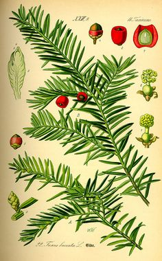 If commun ou If (Taxus baccata) Illustration Botanique Vintage, Vintage Illustration, Gravure Illustration, Plant Illustration, Vintage Botanical Prints, Botanical Drawings, Botanical Art, Botanical Gardens, Medicinal Plants