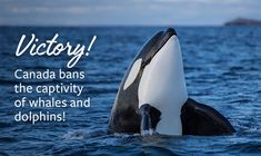 Canada passes 'Free Willy' bill banning whale and dolphin captivity Animal Rights Groups, Not My Circus, Green Party, Killer Whales, Dolphins, Mammals, In This World, Sick, Canada