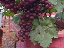 3000 unids mucho la fruta de la uva enano de color rojo oscuro con 30 unids japonés de semillas de árboles de pino como regalo(China (Mainland))