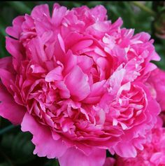 """Peony, """"Princess Margaret"""" early double bloom can be adapted to grow in california"""