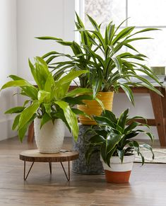 Personalize your bedroom and get a better night's sleep with the beauty of easy-care houseplants. planting These Are the 15 Best Houseplants for Your Bedroom Begonia, Compost, Easy Care Houseplants, Scented Geranium, Moth Orchid, Iron Plant, Low Light Plants, Best Indoor Plants, Peace Lily