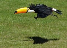 A toucan flies at Zoomadrid in Madrid.  You never see them flying!