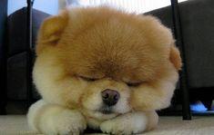 Boo. O cachorrinho da raça Lulu da Pomerânia, mais fofo do mundo1