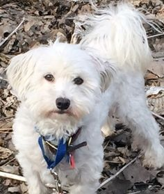 Coton de Tulear dog for Adoption in Minneapolis, MN. ADN-493967 on PuppyFinder.com Gender: Male. Age: Adult