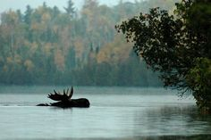 moosetank:  Moose! by Day by Day at Beautiful Bearskin Lodge on Flickr.
