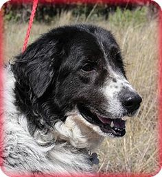4/16/14 Pine Grove, PA - Great Pyrenees/Border Collie Mix. Meet Piper a Dog for Adoption.