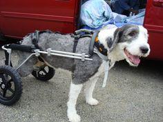 Dog-on-wheels