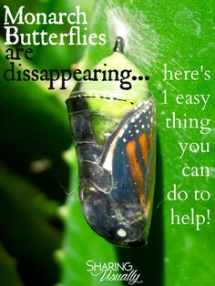 Save the Monarch Butterfly by planting one simple plant in your garden or landscaping...