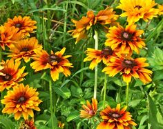 Rudbeckia growing at Fernrock Farm.