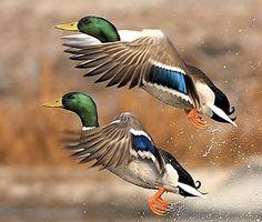 Yeşil başlı ördek
