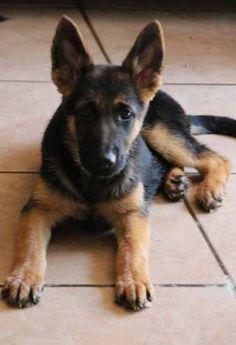 What a cutie! German shepherd pup