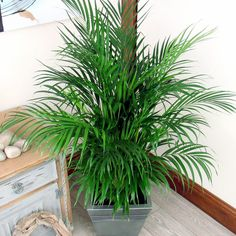 How to Grow Indoor Palm Tree   Potting, Growing and caring Palm Tree Indoor Palm Trees, Indoor Palms, Palm Tree Plant, Potted Palms, Potted Trees, Trees And Shrubs, Palm House Plants, Palm Tree Care, Diy Self Watering Planter