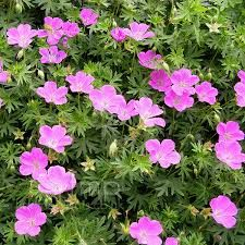 pink geranium - smaller flowers to the blue ones but still very pretty, again many varieties to choose from!