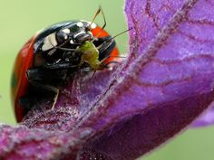 Temperate Climate Permaculture: Beneficial Insects: Ladybugs - Ladybug eating an aphid.
