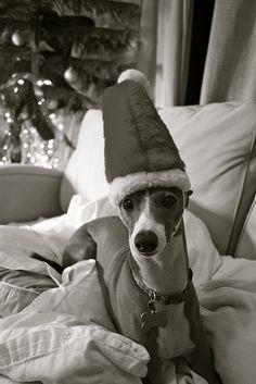 Weinachten, italian greyhound