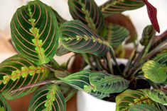 Growing Tree, Growing Plants, Hanging Plants, Indoor Plants, Nerve Plant, Calathea Plant, Prayer Plant, Low Light Plants, Money Trees