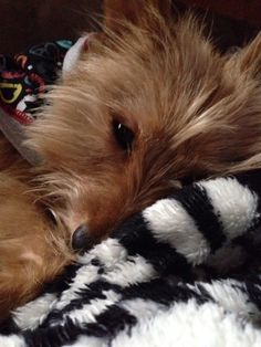 My Timmy, a Yorkie/Pomerania mix.  A perfect little mommas boy.