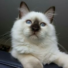 Kaipo the Chocolatepoint ragdoll kitten. 19 weeks old. #Cute #fluffball #Handsome #bleueyes