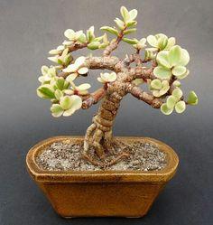 Risultati immagini per P. Jade Plant Bonsai, Succulent Bonsai, Jade Plants, Succulent Gardening, Bonsai Plants, Bonsai Garden, Cacti And Succulents, Planting Succulents, Container Gardening