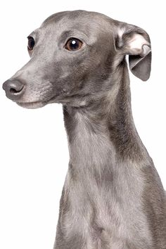 """Italian Greyhound Dog Breed Information Tips for Training and Educating Dogs """"Man's best friend"""", """"The ideal pet"""", """"The perfect companion for going on walk Greyhound Dog Breed, Italian Greyhound Puppies, Whippet Puppies, Greyhound Art, Dogs And Puppies, Whippets, Corgi Puppies, Doggies, Italian Dogs"""