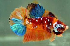 Betta Fish Tank, Aquarium Fish Tank, Beautiful Fish, Beautiful Cats, Pet Fish, Fish Fish, Betta Fish Types, Siamese Fighting Fish, Marine Fish