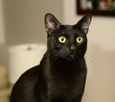 Bombay Cat - Breed Information