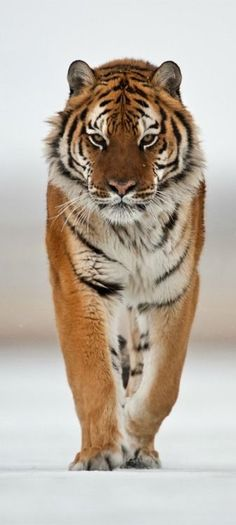 Male tigers can weigh as much as 500 lbs. & reach lengths of 7 ft. long.