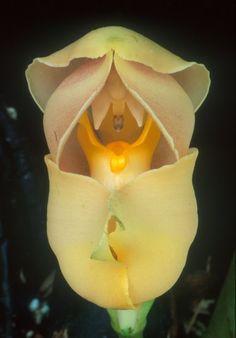 Anguloa Uniflora (Orchid Cradle of Venus)