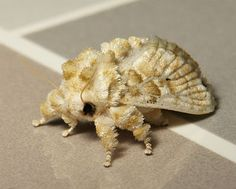 Fuzzy Wuzzy Was a… Moth! - This stuffed animal turned living creature is a Cup Moth (Altha sp., Limacodidae) that almost looks too cuddly to handle. Found in China, its fuzzy little legs and plush wings kind of make it look like this weird creature is made entirely out of fluffy clouds.