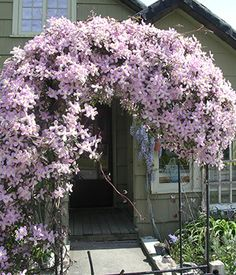 Elizabeth Montana Clematis - 1 Gallon - Trellis - Vines - Clematis - All | Gardener Direct