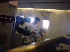 """This is a Real Panda. China has this """"Panda Diplomacy"""" and this one will be sent to Japan as an friendship envoy. For safety reasons, he sits as a passenger with his feeder, not in a cage. Fastening the seat belt, wearing a diaper, eating bamboos."""