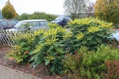 Mahonia x media 'Charity' / Mahonia x media 'Charity' Pershore. Architectural Plants, Shade Plants, Garden Planning, Evergreen, Shrubs, Planting Flowers, Charity, Berries, Backyard