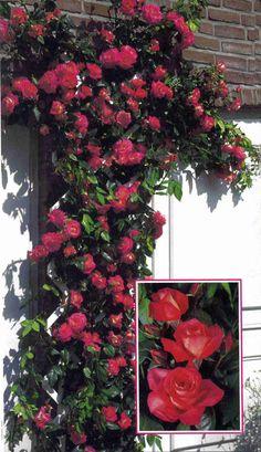 Shogun®. Een uitgesproken gezonde, sterk groeiende klimroos. De soort heeft een bijzondere bloeikracht tot diep in de herfst. De edel gevormde, licht-geurende, gevulde bloemen zijn lichtend, krachtig roze van kleur. De bloemen zijn uitermate regenvast en blijven goed op kleur.