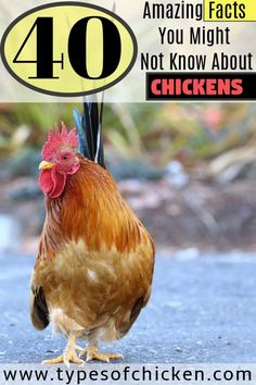 Want to know more about chickens. Here are 40 Amazing Facts You Might Not Know About CHICKENS Types Of Chickens, Raising Backyard Chickens, Keeping Chickens, Pet Chickens, Urban Chickens, Backyard Poultry, Weird Facts, Fun Facts, Chicken Facts