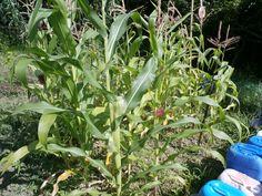 Nuestra pequeña plantación de maíz especial para hacer palomitas. Estoy deseando probarlo.