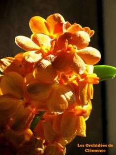 vascostylis pine river orchids   Vascostylis Pine River Orange