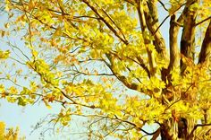 New print available on licensing.pixels.com! - 'Beautiful Autumn Trees 1' by Lanjee Chee - http://licensing.pixels.com/featured/beautiful-autumn-trees-1-lanjee-chee.html via @fineartamerica