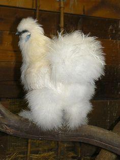 love silkeh roosters!